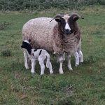 Pure Jacobs Sheep
